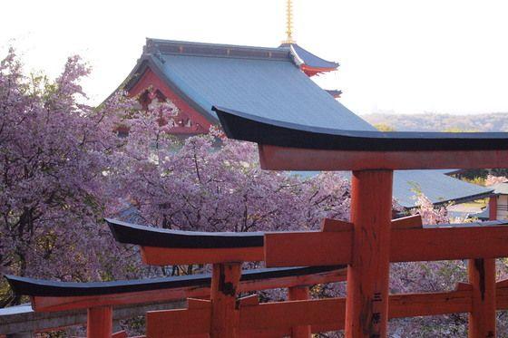 願昭寺 桜の鳥居
