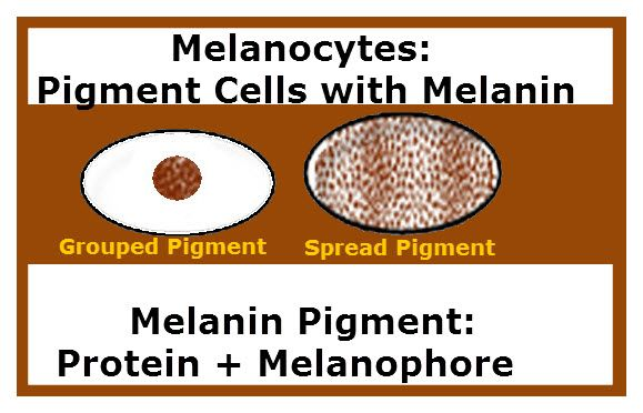 caucasian and melanin | ... melanin pigment and the other with melanin pigment spread throughout