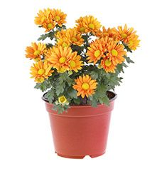 Crisantemo, margarita