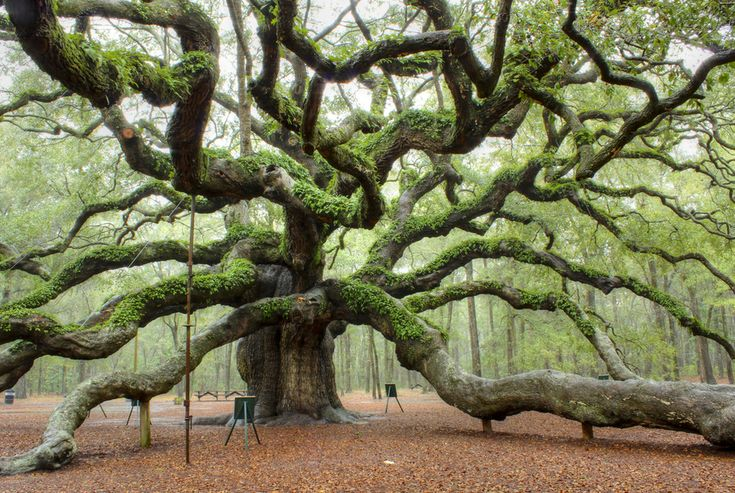 Angel Oak: Charleston, S.C. | The World's Most Beautiful Trees:
