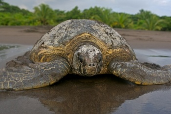 I'm going to volunteer!  What to do before you go: http://www.seeturtles.org/687/volunteer-project-packing-list.html
