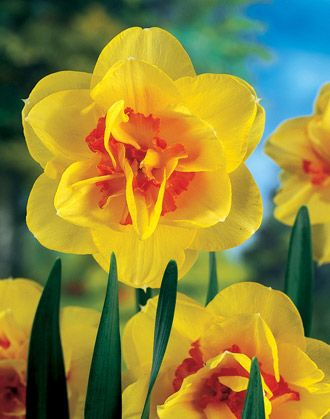 'Tahiti' is an exotic double daffodil