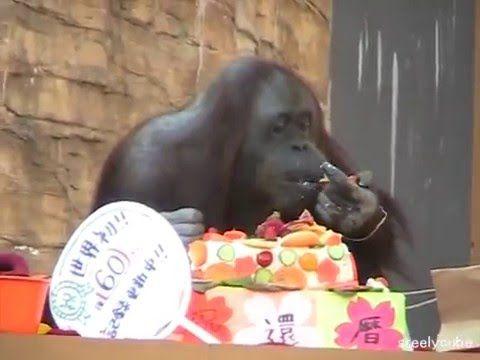 Orangutan Gypsy's 60th Birthday