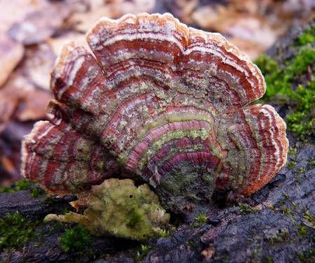 turkey tail mushroom photo