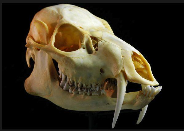 Chinese Water Deer - Skulls – An Exploration: http://skullappreciationsociety.com/skulls-an-exploration/ via @Skull_Society