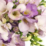 Lavender Freesia Flower