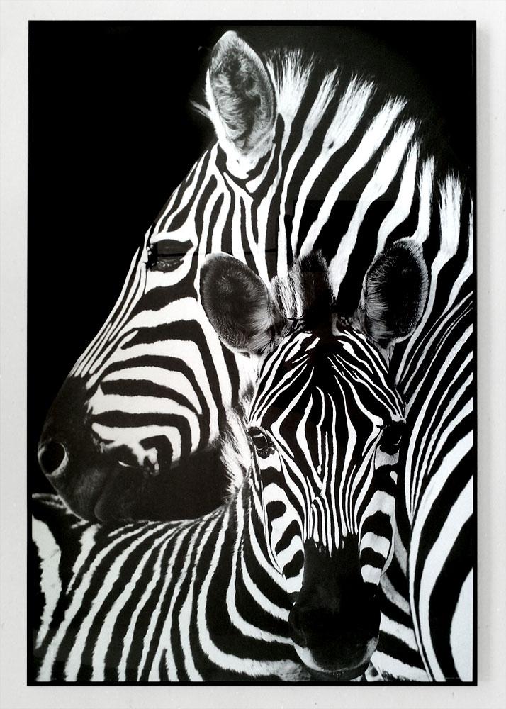 Zebry - plakat - Galeria Plakatu