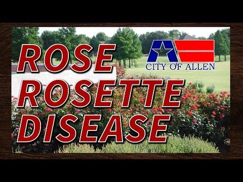 Rose Rosette Disease on Climbing Rose - YouTube