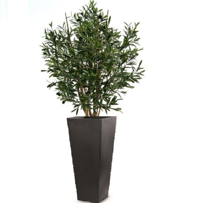 393 best large indoor plants images on pinterest house for Pruning olive trees in pots