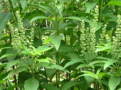 Alfavacão - Benefícios dessa planta medicinal