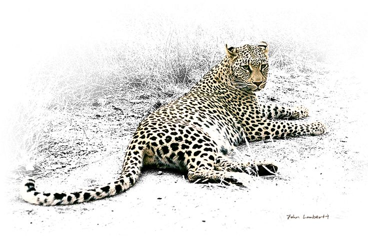 Leopard | Canvas Print | Order online at ngunigalore.com - Delivery is FREE to anywhere in SA! | All canvas prints are available un-mounted, delivered in tubes.