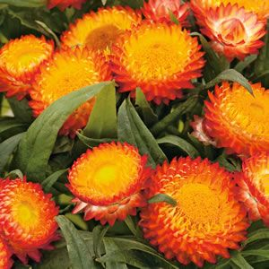 Native paper daisy with brilliant orange-red flowers with a golden yellow eye. Once established they are heat and drought tolerant and will tolerates light frosts. Suitable for garden beds, rockeries, containers and great in hanging baskets. Prefers a full sun t...