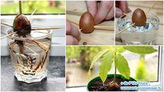 Voici Comment Faire Pousser un Avocatier à Partir d'un Noyau d'Avocat.