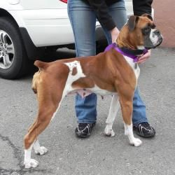 Mia is an adoptable Boxer Dog in Denver, CO.