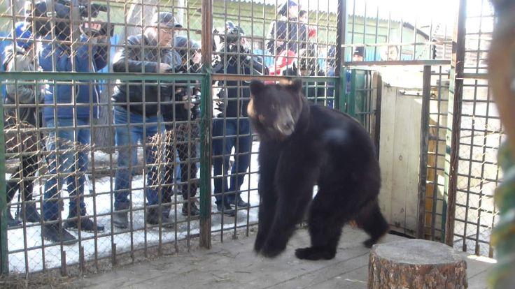 Выход медведицы  Мани в вольер