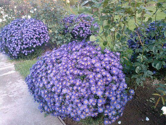 Многолетняя астра: сорта и особенности выращивания