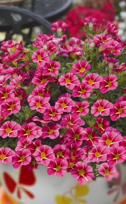 Calibrachoa Superbells Punch Series #vibrantflowers #hangingbasket #magenta