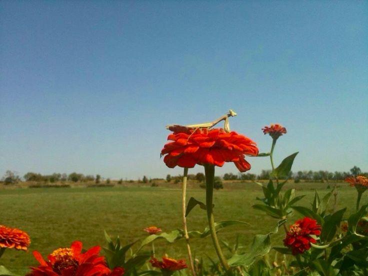 Praying Mantis On Red Zenia , Kentucky Garden 2011 Photographer Jane Drake  Hale