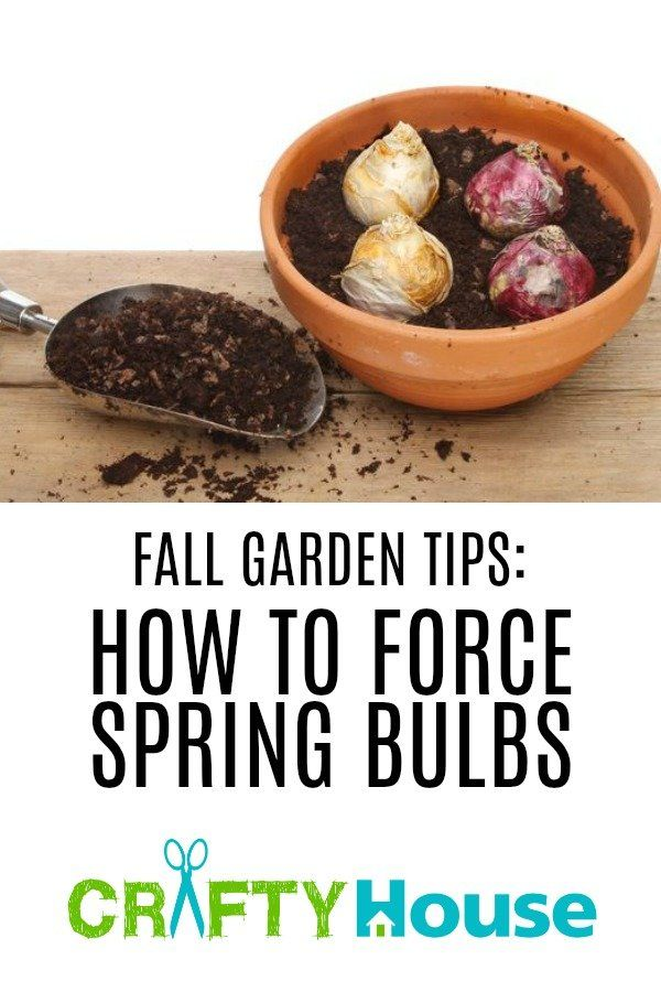 Fall Garden Tips: How To Force Spring Bulbs
