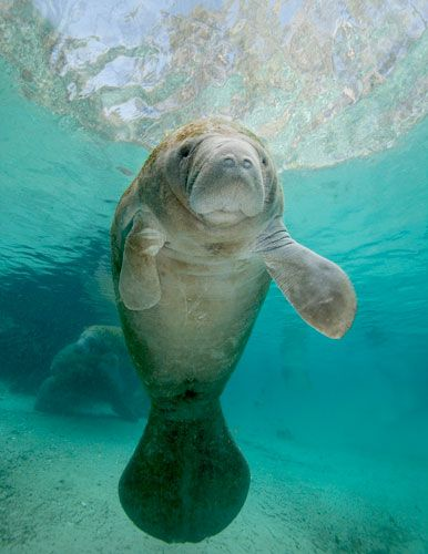 Gregory Sweeney - Cute Baby Manatee