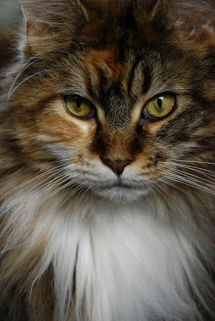 'Petal' -- a simply beautiful cat. (Maine Coon?)