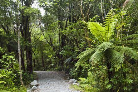 Farne und Waldweg - Neuseeland