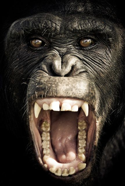 Angry gorilla!