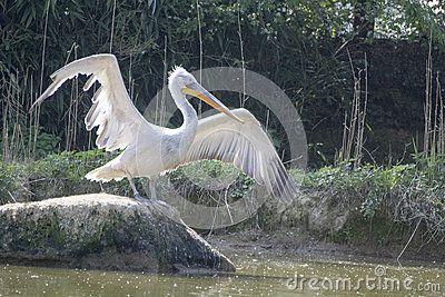 Pelican - Pellicano -  pelecanus