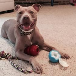 Pictures of Daisy a American Pit Bull Terrier for adoption in Hilliard, OH who needs a loving home.