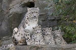 Snow Leopard Photography - Bing Images