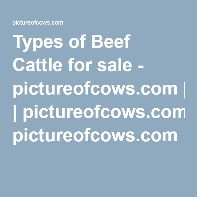 Types of Beef Cattle for sale - pictureofcows.com | pictureofcows.com
