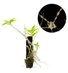 Dendrobium Laxiflorum Rp 195,000