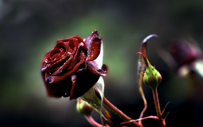 Download wallpapers rose, hoar-frost, burgundy rose, morning, frosts