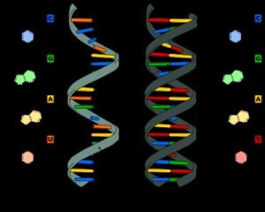 which code dna secret genes controls pneumoniae, Pinterest ...