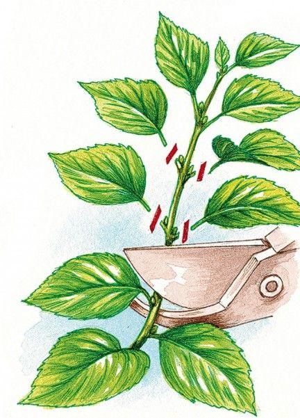 Prélever des boutures d'Hydrangea petiolaris - J. Bordier - Rustica