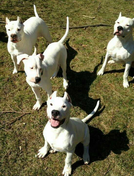 Pin By Angela Peck On Dogo Argentino Dog Argentino Dog Personality Beautiful Dogs