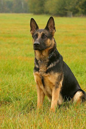 Deutscher Schaeferhund Fantastische Bilder unseren besten Freunden! Hier noch ein Tip: http://besteversicherungenonline.de/hundever