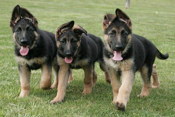Early Spaying - Neutering of German Shepherd Dogs   Purina Pro Club - Purina Pro Club