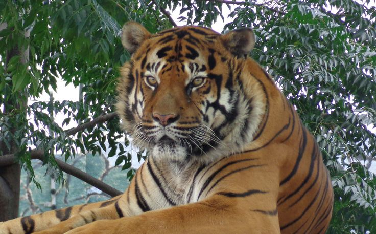 Tiger | Lory Park Zoo, Johannesburg, South Africa | Rckr88 | Flickr