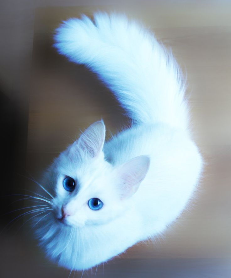 turkish_angora, I want one of these cats sooo badly. They are gorgeous.