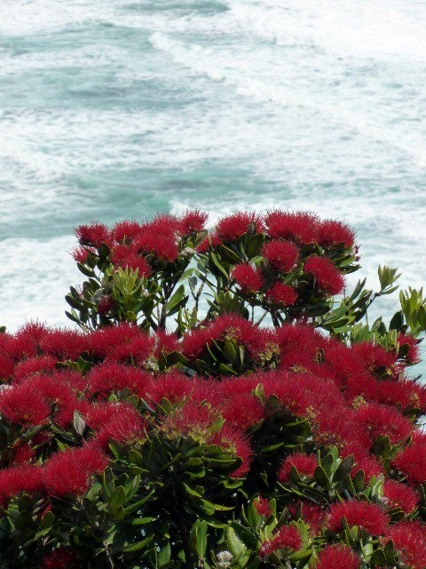 Pohutukawa and Surf. New Zealand. By Margaret Tooley.