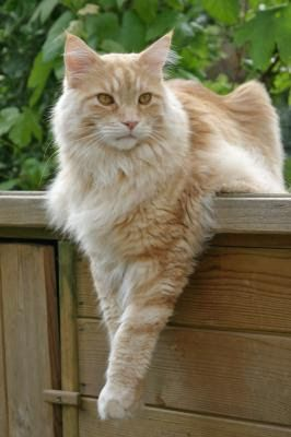 largest domestic cat breed gccf maine coon cat eres evenstar eresyr ... #catbreed - See more at Catsincare.com!