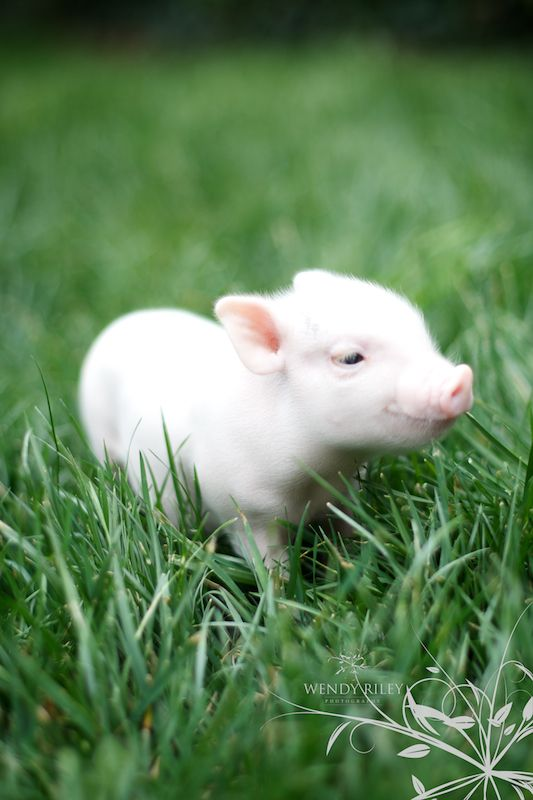 This will my new baby, and her name will be Charlotte! A teacup pot belly pig, she will be part of our family