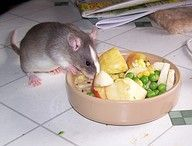 Types/Categories of Fruits & Vegetables pet rats should eat (and why.)