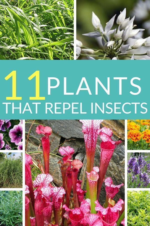 Plants That Repel Mosquitoes Home And Garden Bugs Insect Repellents