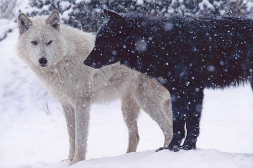 Wolves!Languages, The Doors, Black Wolf, Black And White, White Wolf, Cousins, White Wolves, Two Wolves, Black Wolves
