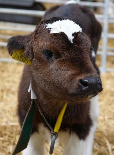 Aww just a cute little baby cow. Cute cow