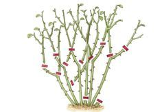 Ihr denkt, Rosen zu schneiden ist kompliziert? Überhaupt nicht! OBI hat für euch eine Schritt-für-Schritt Anleitung die euch weiter hilft. #Gartentipps #Rosenschnitt