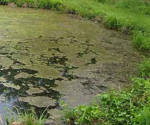 how to stop green water in fish pond