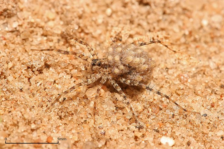 During courtship, the male wolf spider would wave this to the female in a slow motion manner, as if enticing her with his load of sperm. URL: http://wolfspider.org/
